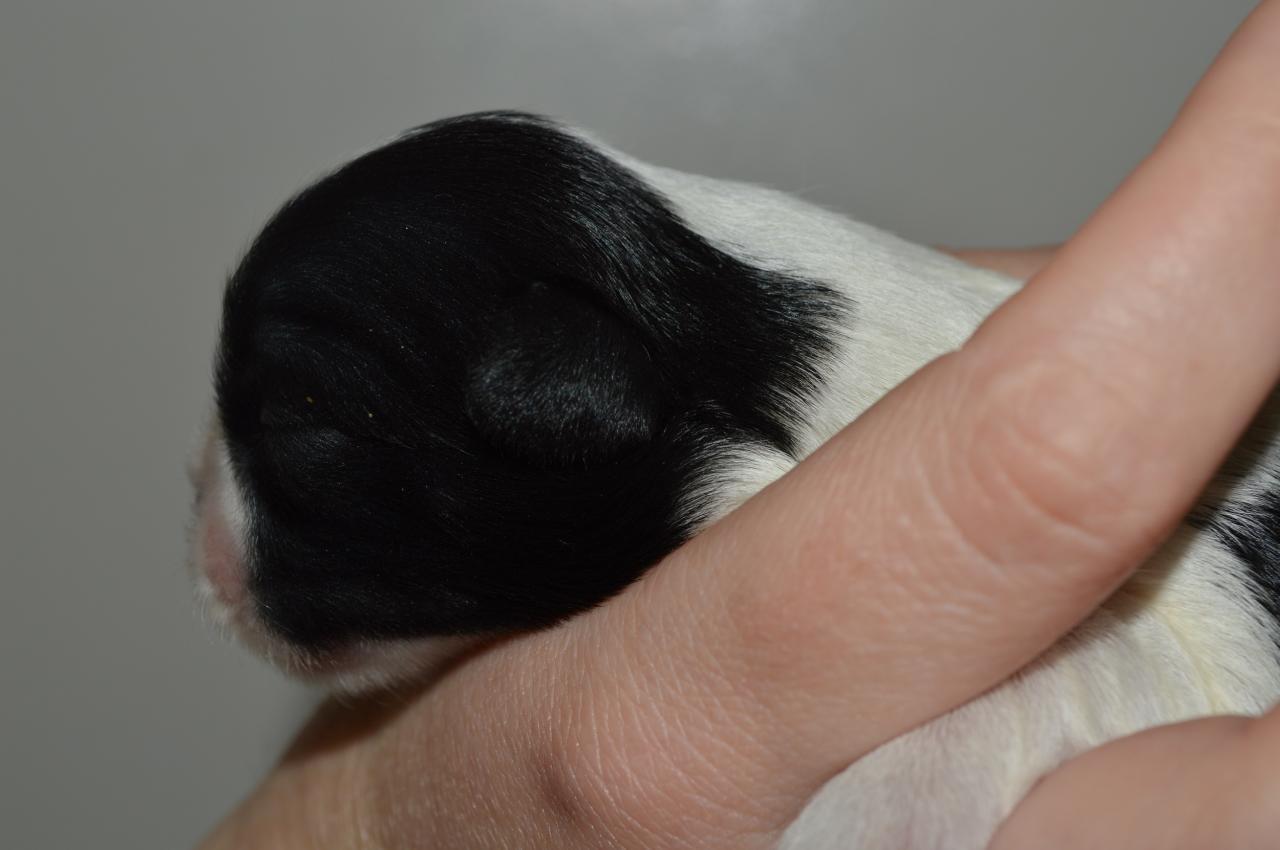 Femelle noire et blanche